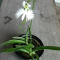 この夏に真っ白なサギの花を咲かせてみませんか?サギソウ講習会(サロン)開催