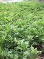 笹団子などに使うヨモギの新芽摘み行います